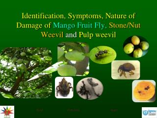 Identification, Symptoms, Nature of Damage of Mango Fruit Fly,  Stone/Nut Weevil  and  Pulp weevil