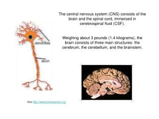 The central nervous system CNS consists of the brain and the spinal cord, immersed in cerebrospinal fluid CSF.  Weighing