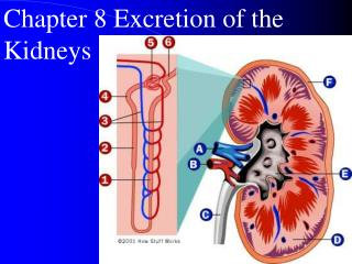 Chapter 8 Excretion of the Kidneys