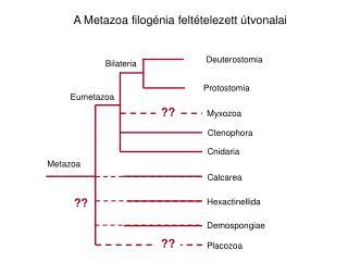 A Metazoa filogénia feltételezett útvonalai