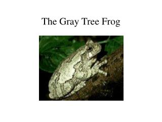 The Gray Tree Frog