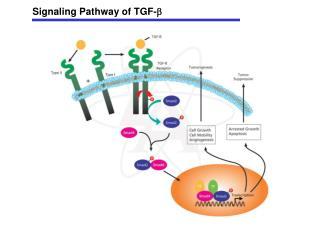 Signaling Pathway of TGF- 
