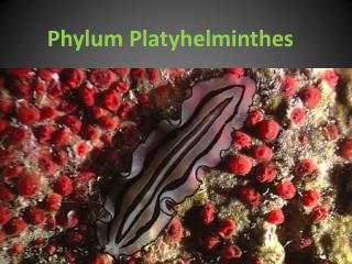 Phylum Plat y helminthes