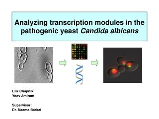Analyzing transcription modules in the pathogenic yeast  Candida albicans
