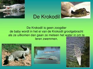 De Krokodil  De Krokodil is geen zoogdier de baby wordt in het ei van de Krokodil grootgebracht als ze uitkomen dan gaan