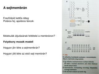 A sejtmembrán Foszfolipid kettős réteg Poláros fej, apoláros láncok