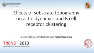 Effects of substrate topography on actin dynamics and B  c ell receptor clustering