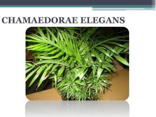 CHAMAEDORAE ELEGANS