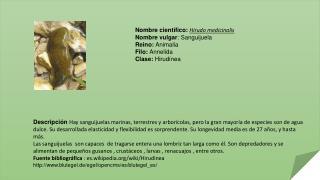 Nombre científico :  Hirudo medicinalis Nombre  vulgar :  Sanguijuela Reino:  Animalia
