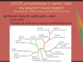 Cell Division Cycle 25: cdc25 (cdc2 = cdk1) Ativam CDKs