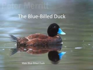 The Blue-Billed Duck