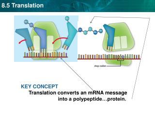 KEY CONCEPT  Translation converts an mRNA message