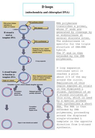 D loops (mitochondria and chloroplast DNA)