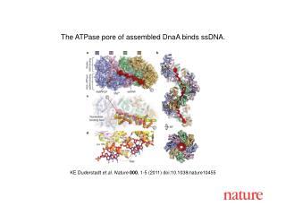 KE Duderstadt  et al .  Nature 000 ,  1 - 5  (2011) doi:10.1038/nature10455