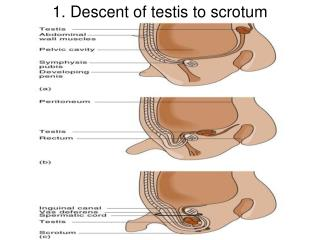 1.  Descent of testis to scrotum