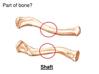 Part of bone?