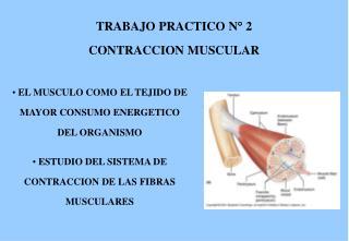 TRABAJO PRACTICO N   2  CONTRACCION MUSCULAR