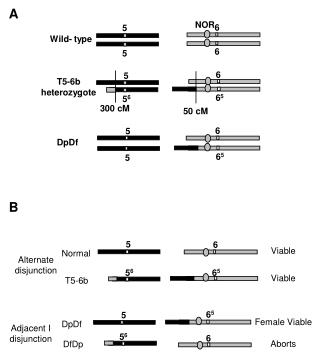 T5-6b heterozygote