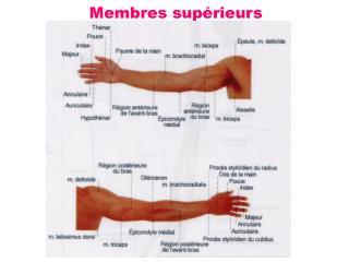 Membres sup�rieurs