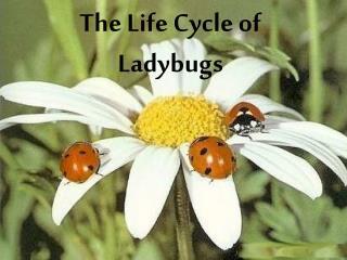 The Life Cycle of Ladybugs