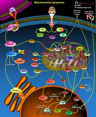 Mitochondrial Apoptosis