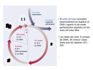 Fases del cicle cel·lular i punts de control .