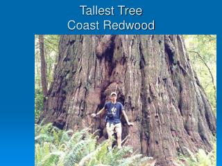 Tallest Tree Coast Redwood