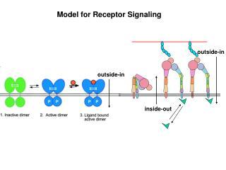 Model for Receptor Signaling