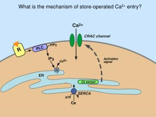 What is the mechanism of store-operated Ca 2+  entry?