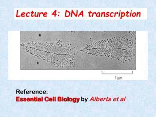 Lecture 4: DNA transcription