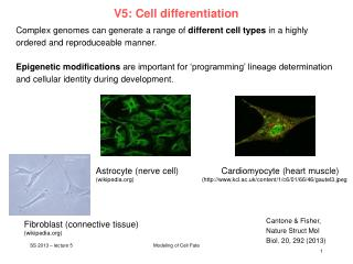 V5: Cell differentiation