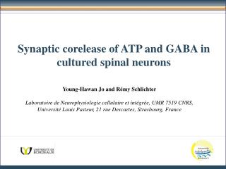 Synaptic corelease  of ATP and GABA in  cultured  spinal  neurons