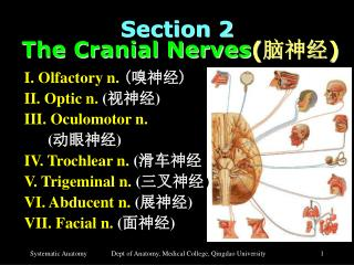Section 2  The Cranial Nerves ( 脑神经 )