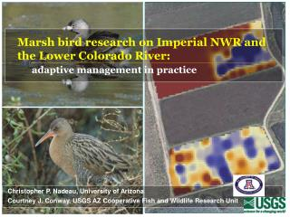 Marsh bird research on Imperial NWR and  the Lower Colorado River: