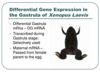 Differential Gene Expression in the Gastrula of  Xenopus Laevis
