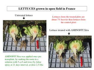 LETTUCES grown in open field in France