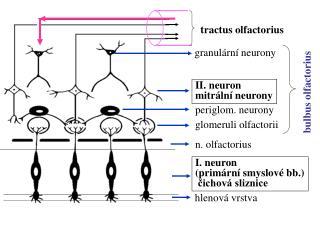 I. neuron (primární smyslové bb.)  čichová sliznice