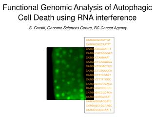 Functional Genomic Analysis of Autophagic  Cell Death using RNA interference