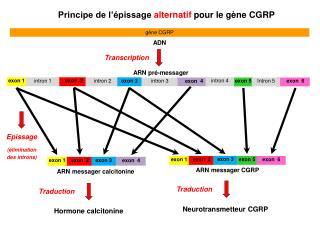 Principe de l'épissage  alternatif  pour le gène CGRP