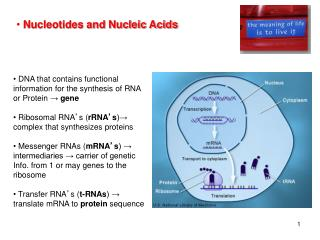 DNA that contains functional information for the synthesis of RNA or Protein  →  gene