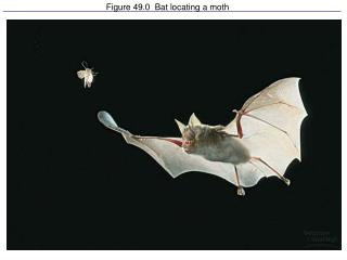 Figure 49.0  Bat locating a moth