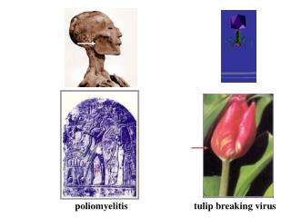 poliomyelitis                  tulip  breaking virus