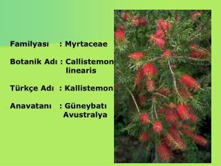 Familyası    : Myrtaceae Botanik Adı : Callistemon                       linearis