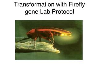 Transformation with Firefly gene Lab Protocol