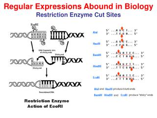 Regular Expressions Abound in Biology Restriction Enzyme Cut Sites