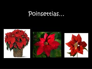 Poinsettias�