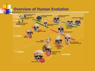 Overview of Human Evolution Hominids Through Time