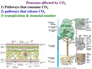 Processes affected by CO 2 1) Pathways that consume CO 2 2) pathways that release CO 2