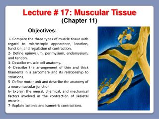 Lecture #  17: Muscular Tissue