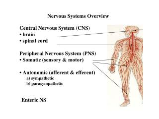 Nervous Systems Overview